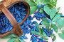 Урожай ягод садовой жимолости (лат. Lonicera), фото № 26576115, снято 25 июня 2017 г. (c) Виктория Катьянова / Фотобанк Лори