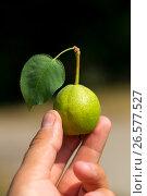 Pear. Стоковое фото, фотограф Антон Соваренко / Фотобанк Лори