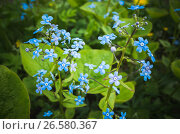 Купить «Forget me not. Blue flowers in spring garden», фото № 26580367, снято 28 мая 2017 г. (c) EugeneSergeev / Фотобанк Лори