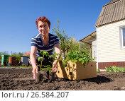 Купить «Пожилая женщина из коробки вынимает рассаду молодых помидор», фото № 26584207, снято 4 мая 2017 г. (c) Вячеслав Палес / Фотобанк Лори