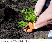 Купить «Посадка рассады помидор на грядках», фото № 26584215, снято 4 мая 2017 г. (c) Вячеслав Палес / Фотобанк Лори