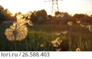 Купить «Blowing on a Dandelion», видеоролик № 26588403, снято 26 июня 2017 г. (c) Илья Шаматура / Фотобанк Лори