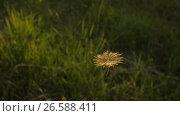 Купить «Flight of Dandelion Seed», видеоролик № 26588411, снято 26 июня 2017 г. (c) Илья Шаматура / Фотобанк Лори