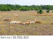 Купить «pride of lions resting in savannah at africa», фото № 26592423, снято 17 февраля 2017 г. (c) Syda Productions / Фотобанк Лори
