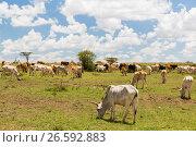 Купить «cows grazing in savannah at africa», фото № 26592883, снято 18 февраля 2017 г. (c) Syda Productions / Фотобанк Лори