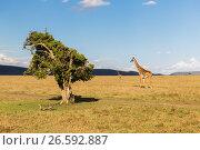 Купить «giraffes in savannah at africa», фото № 26592887, снято 18 февраля 2017 г. (c) Syda Productions / Фотобанк Лори