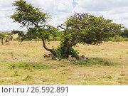cheetahs lying under tree in savannah at africa (2017 год). Стоковое фото, фотограф Syda Productions / Фотобанк Лори
