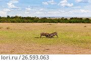 Купить «warthogs fighting in savannah at africa», фото № 26593063, снято 17 февраля 2017 г. (c) Syda Productions / Фотобанк Лори