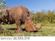 Купить «rhino grazing in savannah at africa», фото № 26593319, снято 20 февраля 2017 г. (c) Syda Productions / Фотобанк Лори