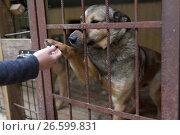 """Купить «Собака в приюте для бездомных животных благотворительного фонда """"Верность"""" под Санкт-Петербургом дает лапу сотруднику приюта», фото № 26599831, снято 30 июня 2017 г. (c) Stockphoto / Фотобанк Лори"""