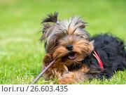 Купить «Портрет щенка йоркширского терьера, лежащего на траве и грызущего палку», фото № 26603435, снято 11 июня 2017 г. (c) Pukhov K / Фотобанк Лори