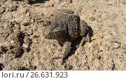 Купить «Земляная жаба», фото № 26631923, снято 4 июля 2017 г. (c) Кургузкин Константин Владимирович / Фотобанк Лори