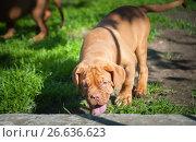 Купить «One puppy Dogue de Bordeaux», фото № 26636623, снято 2 июля 2017 г. (c) Наталия Ромашова / Фотобанк Лори