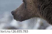 Brown bear. Close-up, portrait. Стоковое видео, видеограф DPS / Фотобанк Лори
