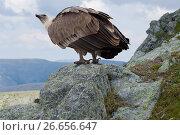 Купить «Griffon vulture in wildness», фото № 26656647, снято 22 октября 2018 г. (c) Яков Филимонов / Фотобанк Лори