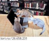 Купить «Котята в библиотеке смотрят в компьютер», фото № 26658231, снято 10 июля 2016 г. (c) Ирина Кожемякина / Фотобанк Лори