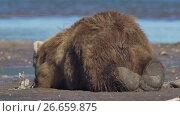 Brown bear sleeping. Стоковое видео, видеограф DPS / Фотобанк Лори