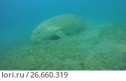 Купить «Dugongo eat green sea grass on a sandy bottom - Abu Dabab, Marsa Alam, Red Sea, Egypt, Africa», видеоролик № 26660319, снято 15 июля 2017 г. (c) Некрасов Андрей / Фотобанк Лори