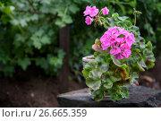 Купить «Розовая герань (пеларгония) в саду», фото № 26665359, снято 17 июля 2017 г. (c) Наталья Осипова / Фотобанк Лори