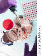 Купить «Senior life science researcher grafting bacteria», фото № 26666775, снято 23 октября 2019 г. (c) Matej Kastelic / Фотобанк Лори