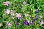 Аквилегия ( лат. Aquilegia) цветет в саду, фото № 26669471, снято 15 июля 2017 г. (c) Елена Коромыслова / Фотобанк Лори