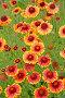 Цветущая гайлардия гибридная  (Gaillardia x hybrida), фото № 26674907, снято 29 июня 2014 г. (c) Ирина Борсученко / Фотобанк Лори