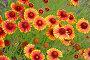 Цветение гайлардии гибридной  (Gaillardia x hybrida), фото № 26674911, снято 29 июня 2014 г. (c) Ирина Борсученко / Фотобанк Лори