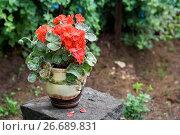 Купить «Красная герань (пеларгония) в саду», фото № 26689831, снято 17 июля 2017 г. (c) Наталья Осипова / Фотобанк Лори