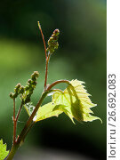 Купить «Grape-vine buds and tendrils», фото № 26692083, снято 5 мая 2017 г. (c) Короленко Елена / Фотобанк Лори