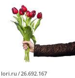 Купить «bouquet of reds tulips in a hand against a white», фото № 26692167, снято 11 марта 2012 г. (c) Tatjana Romanova / Фотобанк Лори