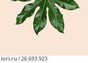 Купить «green leaves over beige background», фото № 26693923, снято 20 января 2018 г. (c) Syda Productions / Фотобанк Лори