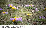 Купить «Early spring, crocus flowers against the background of a last year's grass», видеоролик № 26700671, снято 24 июля 2009 г. (c) Куликов Константин / Фотобанк Лори