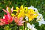 Разноцветные лилии цветут в саду, фото № 26703719, снято 16 июля 2017 г. (c) Дудакова / Фотобанк Лори