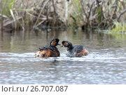 Купить «Поганка черношейная. Black-necked Grebe (Podiceps nigricollis, Podiceps caspicus).», фото № 26707087, снято 23 апреля 2017 г. (c) Василий Вишневский / Фотобанк Лори