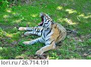 Купить «Амурский тигр с открытой пастью», фото № 26714191, снято 17 января 2020 г. (c) Овчинникова Ирина / Фотобанк Лори