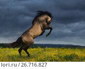 Купить «Испанский буланый жеребец на дыбах в поле перед грозой», фото № 26716827, снято 21 июня 2017 г. (c) Абрамова Ксения / Фотобанк Лори