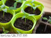 Купить «Рассада перца крупным планом», фото № 26717191, снято 3 апреля 2020 г. (c) Галина Лукьяненко / Фотобанк Лори