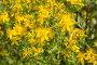 Зверобой обыкновенный (Hypericum perforаtum), фото № 26732587, снято 3 июля 2017 г. (c) Ирина Яровая / Фотобанк Лори