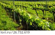 Купить «Wide grape fields in spring attractive place in sunny Spain», видеоролик № 26732619, снято 30 апреля 2017 г. (c) Яков Филимонов / Фотобанк Лори