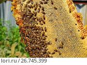 Купить «Honey bees on the wax combs, outdoors», фото № 26745399, снято 7 августа 2017 г. (c) Володина Ольга / Фотобанк Лори