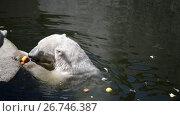Купить «Polar bear (Ursus maritimus)», видеоролик № 26746387, снято 6 июня 2015 г. (c) BestPhotoStudio / Фотобанк Лори