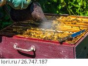 Купить «The beekeeper smokes the smoke of bees - drives away bees», фото № 26747187, снято 7 августа 2017 г. (c) Володина Ольга / Фотобанк Лори