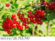 Купить «Гроздья ягод красной смородины», фото № 26753747, снято 25 июля 2017 г. (c) Наталья Волкова / Фотобанк Лори