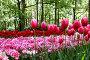 Клумба розовых и красных тюльпанов в тени деревьев в Королевском парке цветов Кекенхоф, фото № 26761919, снято 14 мая 2017 г. (c) Irina Opachevsky / Фотобанк Лори