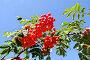 Ярко-красные ягоды рябины на фоне голубого неба, фото № 26762431, снято 16 августа 2017 г. (c) Илюхина Наталья / Фотобанк Лори