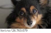 Купить «Old dog at home», видеоролик № 26763079, снято 11 августа 2017 г. (c) Илья Шаматура / Фотобанк Лори