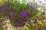 Лобелия (Lobelia) в подвесном горшочке, фото № 26769039, снято 21 августа 2017 г. (c) Марина Володько / Фотобанк Лори