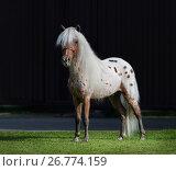 Купить «Американская миниатюрная лошадь. Жеребец чубарой масти на темном фоне.», фото № 26774159, снято 18 августа 2017 г. (c) Абрамова Ксения / Фотобанк Лори