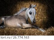 Купить «Американская миниатюрная лошадь. Жеребенок лежит на сене», фото № 26774163, снято 18 августа 2017 г. (c) Абрамова Ксения / Фотобанк Лори