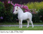 Купить «Американская миниатюрная лошадь. Белоснежный жеребенок в цветущем саду.», фото № 26774167, снято 18 августа 2017 г. (c) Абрамова Ксения / Фотобанк Лори